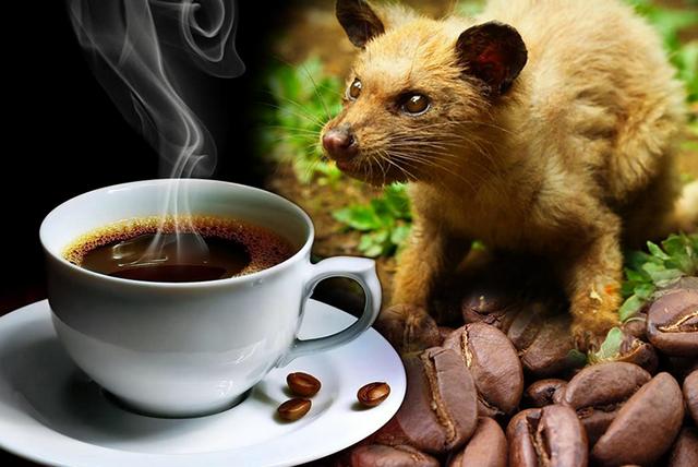 cà phê chồn loại cà phê hảo hạng thế giới