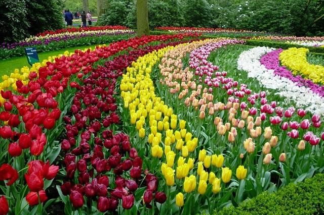 Những dải hoa Tulip xinh đẹp, đầy màu sắc uốn lượn duyên dáng