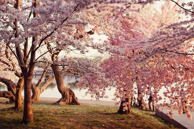 Khung cảnh lãng mạn của công viên trung tâm Nago trong mùa hoa anh đào