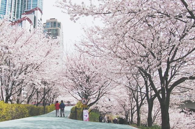 Đường hoa anh đào ven suối Yangjae