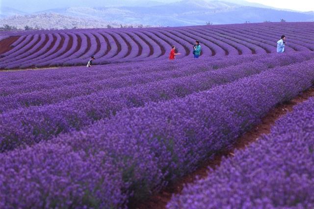 Bridestowe, cánh đồng hoa oải hương được yêu thích nhất ở Australia