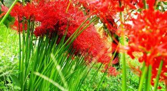 Tìm hiểu về ý nghĩa và công dụng của những bông hoa bỉ ngạn